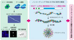 ノンコーディングRNAの新暗号解読