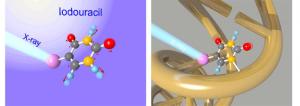 X線吸収によるヨウ化ウラシル分子のクーロン爆発の初期過程(左)および、リボ核酸中でウラシルと置換されたヨウ化ウラシルが放射線スープの原料となる概念図(右)。