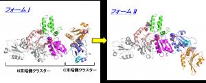 ERdj5の2つのコンフォメーション:2011年に本研究グループが報告したオリジナルな構造(フォームI:左図)に比べ、新しい構造(フォームII:右図)はC末端側クラスターが約110度回転し、クラスターの配向が大きく異なる。