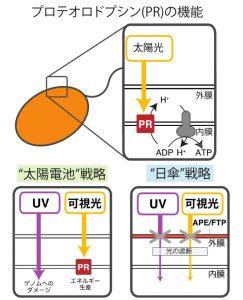 (上) PR(プロテオロドプシン)の機能の模式図。PRは太陽光のエネルギーを用いてプロトン(水素イオン)を細胞膜外へと輸送し、そうして生成されたプロトンの濃度勾配を用いて、ATP(アデノシン三リン酸)合成酵素がATPを生産する。<br>(下) 光からエネルギーを得る「太陽電池型」と色素で光を遮る「日傘型」の適応戦略の模式図