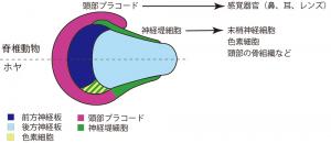ホヤと脊椎動物の、頭部感覚器官等の基となる神経堤細胞とプラコードの発生メカニズムの比較(Horie et al., Nature 560, 228-232, 2018)