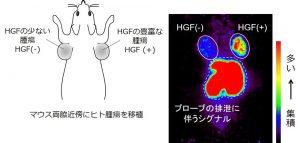 <strong>図2 HiP-8を用いたPET試験:</strong> HiP-8(プローブ)がHGFの豊富ながん(マウスに移植)に集積。腎臓や肝臓からプローブが速やかに排泄されることによって,がん組織がコントラスト高く可視化されている。