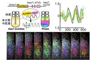 分節過程における遺伝子発現の同期振動の可視化