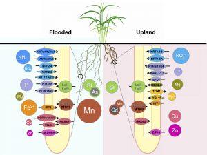 イネは土壌環境に応じてミネラルを吸収する輸送体を使い分ける