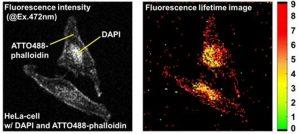 シングル細胞(HeLaセル)の蛍光寿命イメージング
