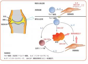 関節炎発症期には、Th17細胞の産生するIL-17が、滑膜細胞からの炎症性サイトカインとケモカインの産生に重要である。特にGM-CSFの産生が関節炎発症に大きな役割を果たす。<br />  慢性炎症期では、Th17細胞、滑膜細胞、自然リンパ球による細胞間および、炎症性サイトカインによる炎症ネットワークの形成が関節破壊を引き起こす。