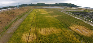 東松島市野蒜地区旧海浜公園敷地に設置したオオムギの試験圃場