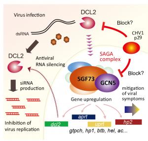 多層性抗ウイルス防御機構で働くクリ胴枯病菌のDicer (DCL2)の役割