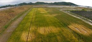 東松島市の津波被災地で栽培したオオムギ