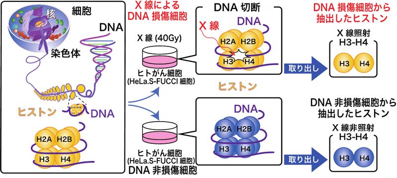 ヒストン(H2A, H2B, H3, H4)複合体に巻きついたDNAをX線照射により損傷させた後、ヒストンH3とH4のみを抽出