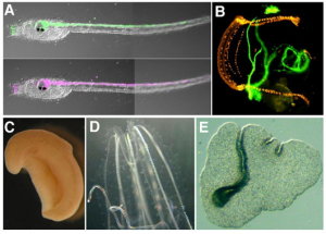 トランスジェニックホヤ(A-B)と進化系統学上重要な海産動物(C, 珍渦虫; D, クシクラゲ; E, センモウヒラムシ)