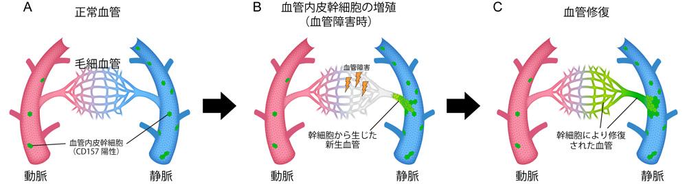 血管内皮幹細胞による血管修復