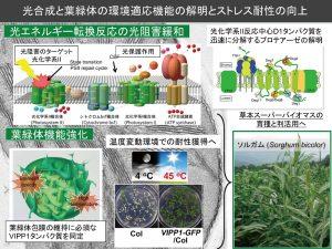 光合成と葉緑体の環境機能の解明とストレス耐性の向上