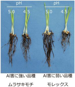 東アジアの一部のオオムギ品種は酸性土壌のアルミニウムストレスに耐性を獲得した