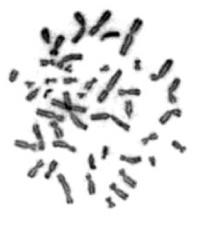 細胞の核の中に存在する染色体 (画像は白髭教授提供)