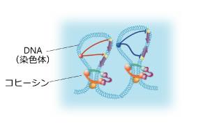 コヒーシンは2本の染色体をつなぎ止める役割をしており、コヒーシンに異常があると細胞分裂の際の染色体の分配がうまく機能しない(左)。さらに、白髭教授は2008 年の研究で、コヒーシンが1本の染色体のなかでループをつくることを発見した(上)。これにより、転写すべき領域を制御しているという(画像はいずれも白髭教授提供)。