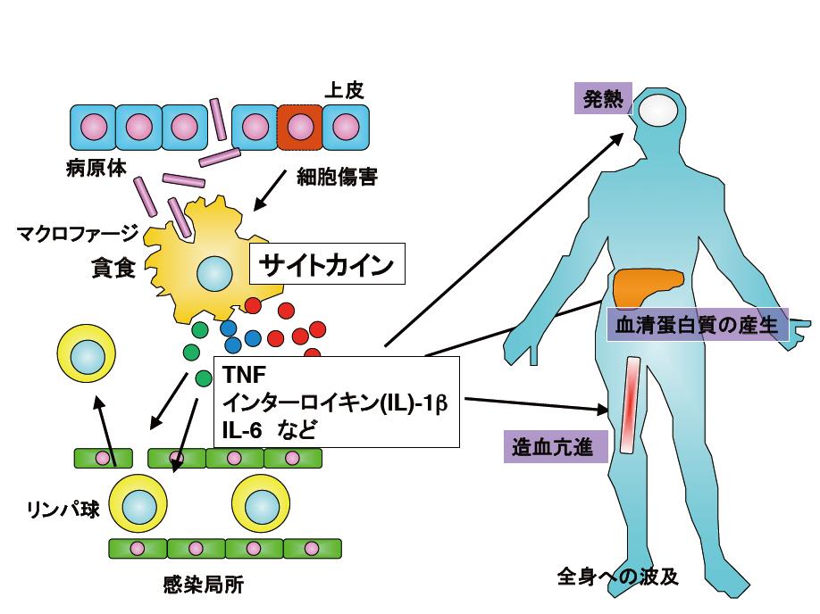 マクロファージから産生されるサイトカインは、炎症反応において、中心的な役割を果たしている。図版は京都大学ウイルス研究所提供。以下同様。