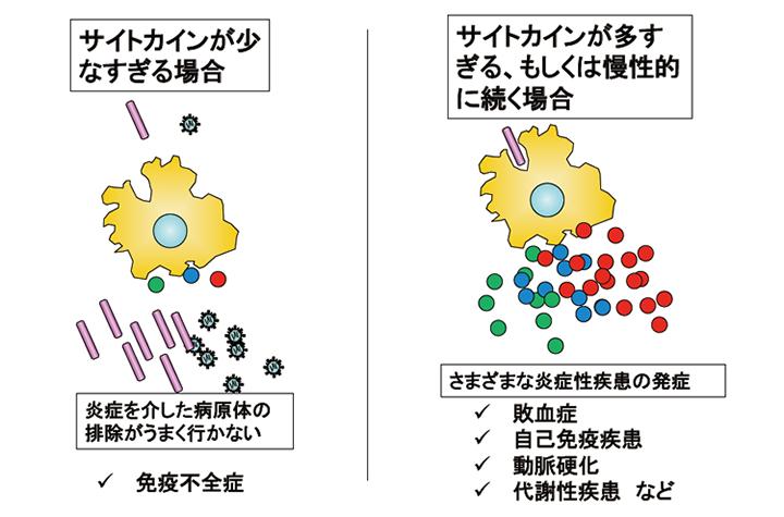 マクロファージが産生するサイトカインは、厳密にその量が調整されることで、免疫不全症や自己免疫疾患の発症が防がれている。