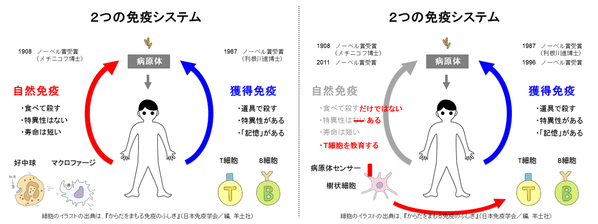 「自然免疫」と「獲得免疫」の特徴の比較。「自然免疫」を司る免疫細胞には、「好中球」と「マクロファージ」、「樹状細胞」などがあり、「獲得免疫」を担う免疫細胞には、「T細胞」と「B細胞」がある。免疫システムの解明は、まず「自然免疫」から進み、1908年にロシアのメチニコフ博士がノーベル医学生理学賞(以下、ノーベル賞)を受賞した。20世紀後半には「獲得免疫」の研究が大きく進展し、1987年に利根川進博士、1996年にも2人の研究者にノーベル賞が授与された。それが最近になって、再び「自然免疫」が大きな注目を集め始めている。「自然免疫」の知られざる仕組みを解明した研究者3名にノーベル賞が授与され、その流れに拍車をかけた。そのときは惜しくも受賞を逃したが、大阪大学微生物病研究所の審良(あきら)静男教授の功績も広く知られる。(図版は山崎教授提供。以下同じ)