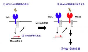 「レクチン受容体」の「MCL」が、結核菌が持つ糖脂質「TDM」を認識し、「ミンクル(Mincle)」を活性化する仕組み。「MCL」と「ミンクル」が連携することで、免疫応答が強まる。