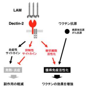 糖脂質の「リボアラビノマンナン(LAM)」を認識した「デクチン(Dectin)-2」が、その後の免疫応答にもたらす影響。「樹状細胞」を活性化し、「獲得免疫」を促進する一方で、発熱・炎症などの免疫反応を抑制するサイトカインを放出する。アクセルとブレーキを同時に踏み、免疫反応の進行を調整していると考えられる。