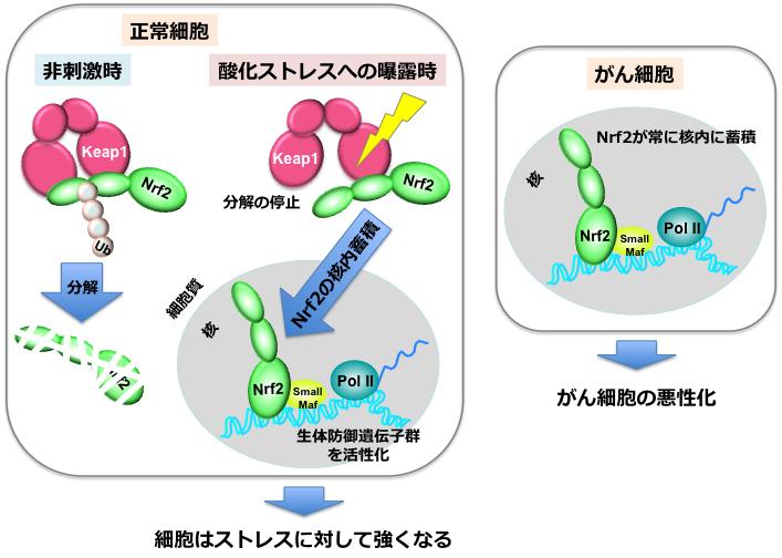 図1.転写因子NRF2の働き 正常な細胞(左)において、NRF2は細胞内で分解され、働かなくなっている。しかし酸化ストレスなどの刺激が加わると核内へ移り、生体防御遺伝子群を活性化させることで、細胞はストレスへの抵抗性を獲得する。ある種のがん細胞では、NRF2が常に核内に蓄積し、悪性化に貢献する。
