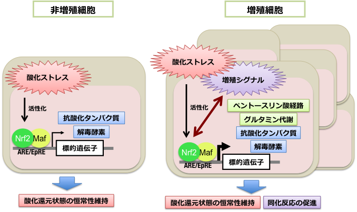 図2.がん細胞におけるNRF2と増殖シグナルの正のフィードバック 増殖シグナルを発する増殖細胞内(右)ではNRF2の機能は増強される。するとNRF2は、生体防御機構であるストレス応答による「抗酸化タンパク質」「解毒酵素」の生成に加え、「ペーストリン酸経路」「グルタミン代謝」などの代謝に影響を及ぼす。こうしたNRF2の機能亢進が、増殖シグナルをさらに増強するという正のフィードバックがかかり、細胞の増殖はさらに促進される。