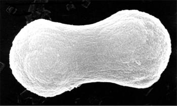 図2. ピーナツ型酸化鉄微粒子 濃厚ゲルからの液相法(液体の状態から粒子を合成する方法)により、サイズと形態を精密に制御し、合成された単分散粒子(サイズなどが均一な粒子群)。この粒子の仲間は最先端磁性材料(ハードディスクなど)として活用されている。