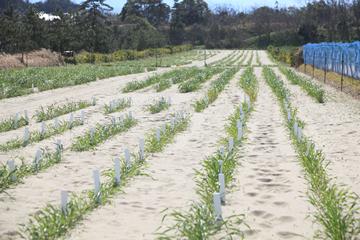 センターが所有する畑に植えられた、辻本教授が品種改良を行っている小麦の苗。さまざまな遺伝子を持った400系等にも及ぶ小麦が、風に揺られる。