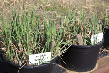 鳥取の海岸に生えている「ハマニンニク」という植物。波をかぶるような場所に生えているため、塩害に強い。このハマニンニクと小麦を交配した結果、塩に強く、力強い茎を持った小麦が生まれた。