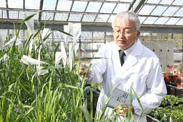 研究のやりがいを尋ねると、「今までに誰も見たことがないような植物が育ったときの驚きです」と辻本教授。「野生植物と小麦の雑種にしても、こちらの予想を超えるような品種がときに生まれてくるのが面白い」のだという。
