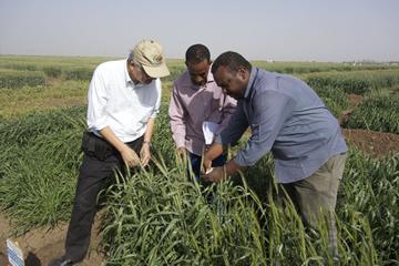 スーダン農業研究機構の試験場で、現地の研究者ととも に高温条件下での葉緑素量を調査している辻本教授。真中の男性は、同機構のコムギ育種家であり、現在、鳥取大学大学院博士課程で研究を行っている。