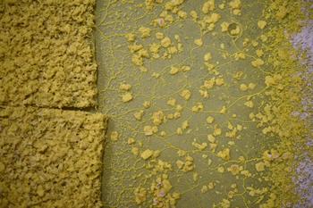 写真に写っている粘菌全体で一つの細胞である。このように巨大化した粘菌を「変形体」という。