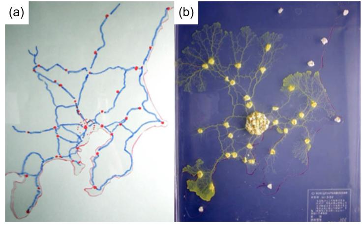 左(a)は実際のJRの路線ネットワーク、右(b)が粘菌が作ったネットワーク。東京を中心として、各主要都市間を合理的な経路で結んでいる様子がわかる。