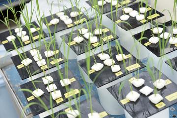 温室で栽培される研究材料としてのイネは、一年を通じて必ず2日に1回、水の交換が必要。植物を相手にした研究には盆も正月もない。