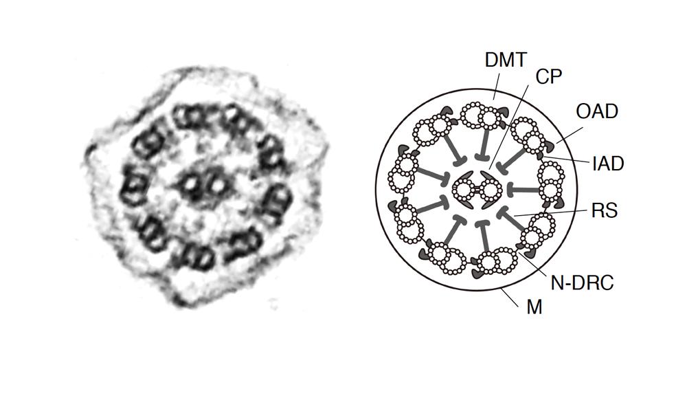 繊毛・鞭毛の軸糸の断面図写真(左)と概念図(右)。DMT:周辺微小管/CP:中心対微小管/OAD:外腕ダイニン(分子モーター)/IAD:内腕ダイニン(分子モーター)RS:ラジアルスポーク/N−DRC:ネキシン-ダイニン調節複合体/M:細胞膜(画像はいずれもセンター提供)