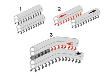 分子モーター「ダイニン」が微小管を滑って動くイメージ図(1、2)。軸糸に沿って滑るダイニンと、滑らないダイニンがある(グレーの網掛け部)。その部分で鞭毛・繊毛は屈曲する(3)。(画像はセンター提供)