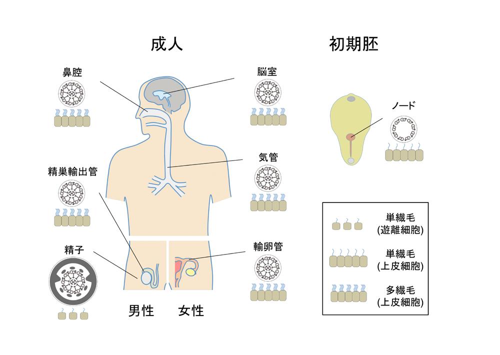 ヒトの体内にある運動性の繊毛・鞭毛。