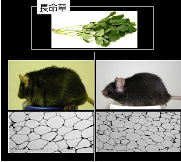 長命草を与えたネズミと長命草を与えなかったネズミでは、明らかに肥満度が異なる。