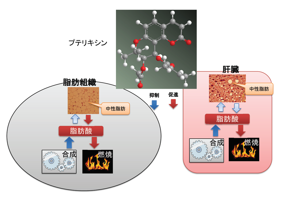 NMR法により特定されたプテリキシンの分子構造。この物質は、中性脂肪の合成を抑制すると同時に、脂肪の燃焼を促進する。