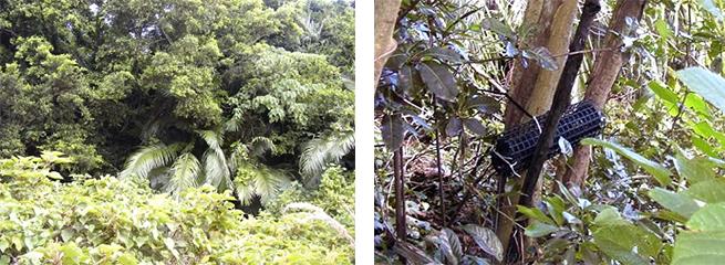 西表島で2008年に撮影した写真。(左)マイクを設置していた森の入り口。(右)マイクを木にくくりつけた状態。この自然環境のなかで1~2年使い続けられるシステムを考案していた。(画像提供:小林博樹准教授)
