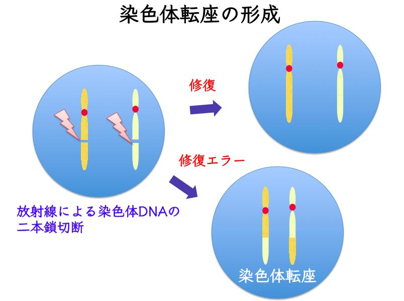 放射線等によって染色体DNAの二本鎖が切断されると、2つのDNA切断部位が修復機構によってつなぎ合わせられるが、修復エラーを起こしたものを「染色体転座」と呼ぶ