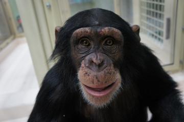 熊本サンクチュアリで暮らすメスのチンパンジー(ハツカ・8歳)(年齢は取材時)。チンパンジーはヒトよりやや小さく、成人で100~140 cmくらい、オスの体重は50~80 kgほど、メスは40~60 kgほどである。(写真は熊本サンクチュアリ提供)