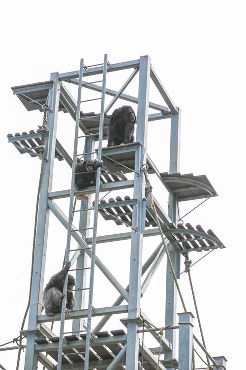 高い木の代わりに導入されたタワー。タワーを昇り降りしたり、タワーの上で寛いだりする。