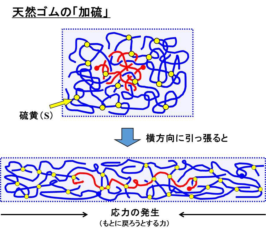 ひも状の高分子が絡まり合っている状態に硫黄(S)を混ぜ合わせて加熱すると、高分子同士が硫黄によって結合される。この処理をすることで優れた弾性を持つゴムになる(図は辻井教授提供)