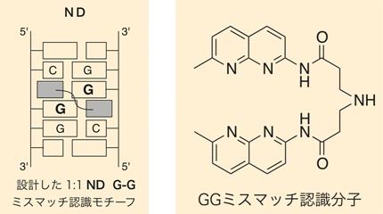 左図:G-Gというミスマッチ塩基対にミスマッチ認識分子NDが結合する様子。<br>右図:G-Gミスマッチ認識分子ND(ナフチリジンダイマー)、分子式はC24H25N7O2で表される。