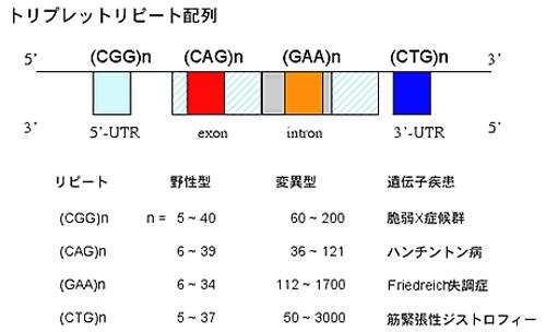例えば(CGG)nの場合、通常ならnすなわち繰り返しの回数は5〜40回である。これが60〜200回と異常に長く繰り返されると、脆弱X症候群を発症する。