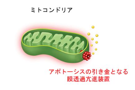 ミトコンドリアのイメージ図。ミトコンドリアがアポトーシスの誘導シグナルを受け取ると、外膜の透過性が増し、外膜と内膜にあるタンパク質(図中で黄色く示した)が外膜の外側に漏れ出してくる。