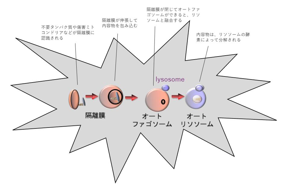 オートファジーのメカニズムの模式図。不要になったタンパク質や傷害ミトコンドリアが膜(隔離膜)に包まれとオートファゴソームが形成される。オートファゴソームはリソソーム(lysosome)と融合し、リソソームの酵素によって内容物が分解される。