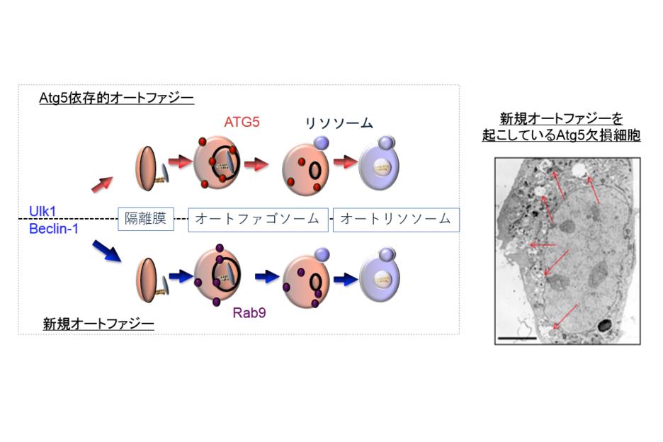 左図は、従来から知られていたオートファジー(上:Atg5依存)と新規オートファジー(下)のメカニズムの比較。右の写真は、新規オートファジー(Atg5非依存)が起きている細胞の電子顕微鏡写真。
